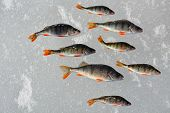pic of ice fishing  - Perch fish on the ice - JPG