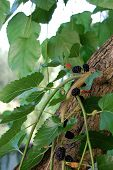 image of mulberry  - Mulberry tree and its fruit photographed close up - JPG