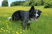 stock photo of collie  - Blue merle border collie showing off her colouring against the buttercups - JPG