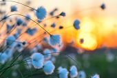 stock photo of marsh grass  - Cotton grass on a background of the sunset sky - JPG