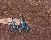 stock photo of scorpion  - image of black scorpion on the wet ground - JPG