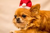 image of long hair dachshund  - Long Haired Chihuahua at Christmas in front of tree with lights - JPG