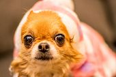 pic of long hair dachshund  - Long Haired Chihuahua at Christmas in front of tree with lights - JPG