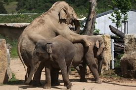 pic of indian elephant  - Indian elephants  - JPG