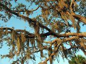Spanish Moss Southern Foliage