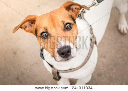 poster of Smart Look Of The Dog. A Curious Dog. Jack Russell Terrier On A Leash. Expressive Dog Eyes Look Into
