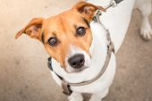 Smart Look Of The Dog. A Curious Dog. Jack Russell Terrier On A Leash. Expressive Dog Eyes Look Into poster