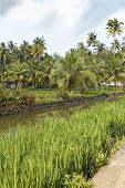Portrait Landscape Canal Palms Paddy Fields Kerala India