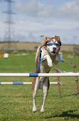 Blindfolded Dog Agility Jump