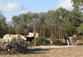 picture of charolais  - Two cows share bird bath in order to deal with extreme Texas drought - JPG