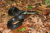 Black Kingsnake (Lampropeltis getula)