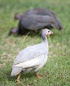 White Guinea Hen