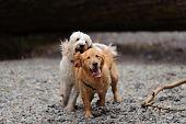 Zwei Hunde laufen in Richtung Kamera