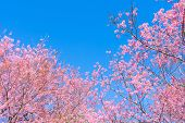 Pink Blossoms On The Branch With Blue Sky During Spring Blooming. Branch With Pink Sakura Blossoms A poster