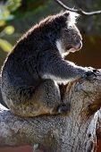 An iconic Koala bear