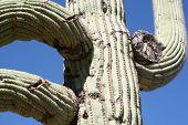 Saguaro Arms