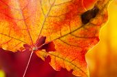 Red-yellow Holey Maple Leaf