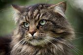 Alfa male cat