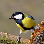 Great tit with sunflower seed in beak