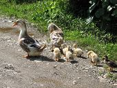 stock photo of mother goose  - Goose family walking on the rural road - JPG