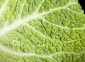 Savoy Cabbage Background