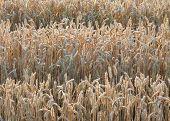 Illuminated Wheat Field Detail