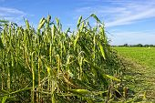 Hail damaged cornfield