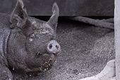 Filthy Piggy