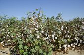 image of pima  - Cotton in the field - JPG