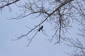 Crow On A Birch. Silhouette Of A Tree With A Crow In December. Silhouette Of A Raven On A Tree Branc poster