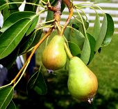 Young Pears Growing