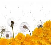 composition with white and yellow dandelions