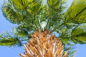 Perspective View Of A Tall Palm Tree Against A Blue Sky. Palm Tree, View From Below, Horizontal Shot poster