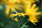 Bright Yellow Flowers Of A Ligularia. In The Foreground Indistinct Outlines. On A Background Flowers poster