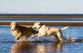 stock photo of happy dog  - Golden retriever and labrador running on the beach - JPG