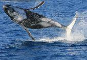 Violar a baleia-jubarte