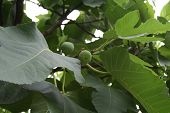 Figs And Leaves