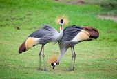 Two Crowned Crane