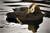 Tufted Puffin Swimming Alaska