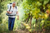 Vintner walking in his vineyard spraying chemicals on his vines