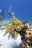 Colorful Coral Reef At The Bottom Of Tropical Sea, Yellow Broccoli Coral And Divers, Underwater Land poster