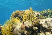 Colorful Coral Reef At The Bottom Of Tropical Sea, Hard Corals, Yellow Fire Corals, Underwater Lands poster