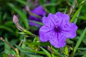 One Beautiful Close Up Of A Purple Wild Petunia (fringeleaf Wild Petunia, Hairy Petunia, Low Wild Pe poster