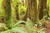 Lush ferns in sub-tropical NZ Kahikatea rainforest