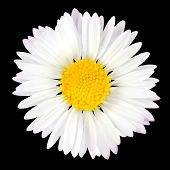 Daisy Flower Isolated On Black Background