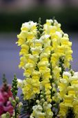 Beautiful Snapdragon Flowers AKA variegated antirrhinum.