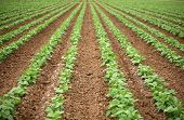 a beautiful green Bean Field with Rows and Rows of Green String Beans growing in the rich brown earth