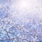 Beautiful blue floral background, gentle white flowers on tree branch, bright sun light, cherry blos