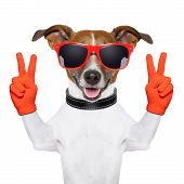 stock photo of white terrier  - peace and victory fingers dog with red gloves and glasses - JPG
