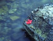 Canyon Maple Leaf